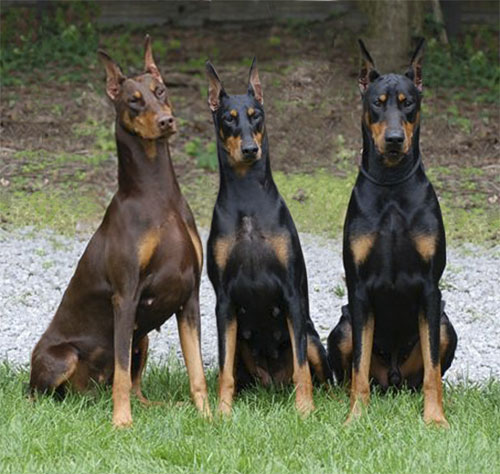 Solid Black Doberman Jagerdobes dobermans
